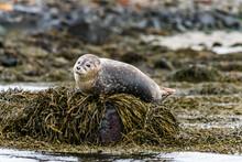 Seals, Sea Lions Sunbathing In Ytri Tunga Beach In Snaefellsnes Peninsula In West Iceland