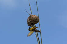 Village Weaver Hanging Upside Down On It's Nest