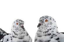 Portrait Doves Similar To Dalmatians In Color Scheme Isolated On White