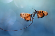 Two Butterflies On A Spiral Tendril On A Plant, Indonesia