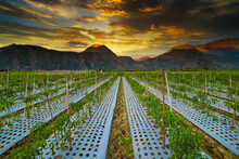 Rows Of Vegetable Plants Growing In A Field At Sunset, Sembalun, Lombok, West Nusa Tenggara, Indonesia
