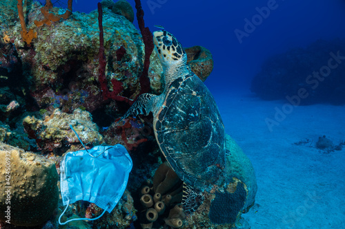 Obraz Carelessly discarded PPE equipment used during the coronavirus pandemic has found its way onto a tropical reef and is damaging the environment. A turtle swims nearby the face mask looking for food - fototapety do salonu