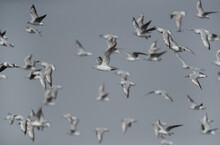 A Flock Of Black-headed Gulls Flying At Asker Marsh, Bahrain