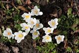 Białe krokusy widziane z góry na tle ziemi pokrytej gałązkami i liśćmi