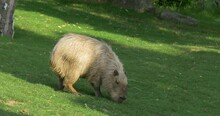 The Capybara Hydrochoerus Hydrochaeris Is The Largest Rodent In The World 4K