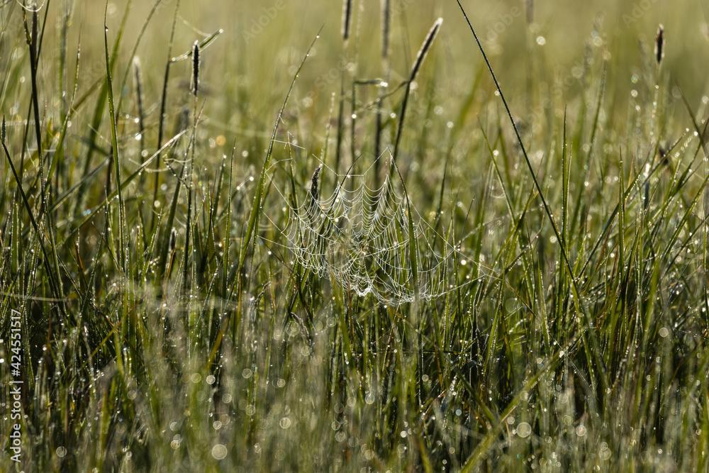 Fototapeta Łąka, pajęczyna i świt w Dolina Baryczy rezerwat przyrody Stawy Milickie