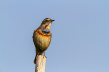 Bluethroat. The Bluethroat Is A Small Passerine Bird That Was Formerly Classed As A Member Of The Thrush Family Turdidae, But Is Now More Generally Considered To Be An Old World Flycatcher.