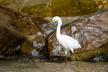 Egret By The Rocks
