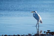 White Snowy Egret