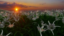 Walking Thru Field Of White Lilies In Sunset Time