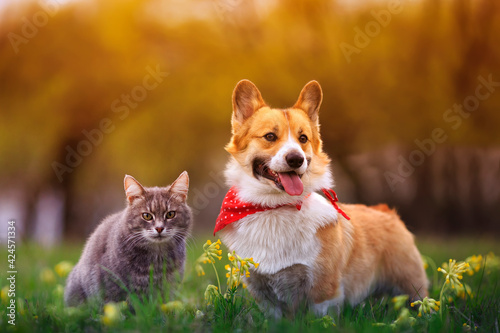 Obraz cute fluffy friends a corgi dog and a tabby cat sit together in a sunny spring meadow - fototapety do salonu
