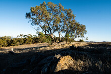 Wide Angle View Of Gum Tree In Morning Sun
