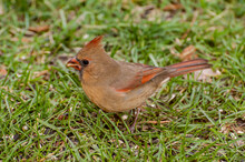 Female Northern Cardinal Eating Bird Seed On The Ground In The Fall.