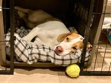 ボールを前にしてゲージの中で寝転ぶ犬