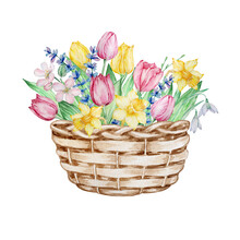 Watercolor Painting Spring Flowers, Wicker Basket With Tulips