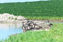 Canada Geese On Shore