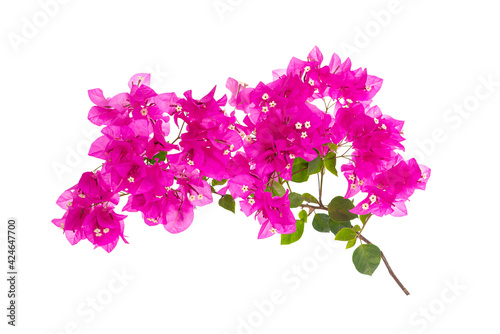 Pink blooming bougainvillea on white background isolated Fotobehang