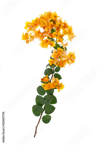 Fotografiet Yellow blooming bougainvillea on white background isolated