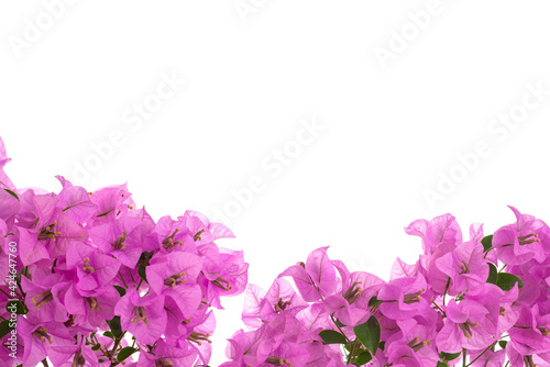 Carta da parati Pink blooming bougainvillea on white background isolated