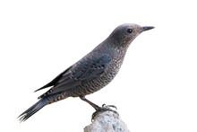 Blue Rock Thrush Bird Isolated On White Background