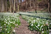 Path Between Spring Snowflakes - Leucojum Vernum