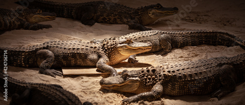 Fotografia, Obraz Baby alligator on the sand indoors in the Everglades Park