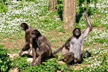 Variegated Spider Monkeys (Ateles Hybridus Marimonda) Sitting On Grass With Daisy Flowers With A Cub