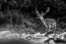 Male Deer 2