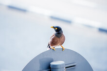 The Common Myna Is A Bird From Starlings, Which In Many Countries Is Recognized As A Highly Invasive Species And Is A Big Problem As A Pest. Although It Helps To Fight Locusts
