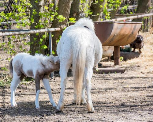 Fototapeta Pony Hatchling sucks mother's udder