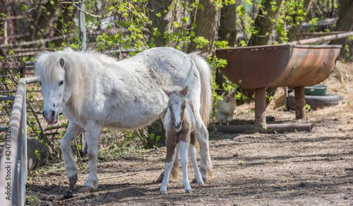 Obraz na plátne Hatchling pony with his mother on the farm