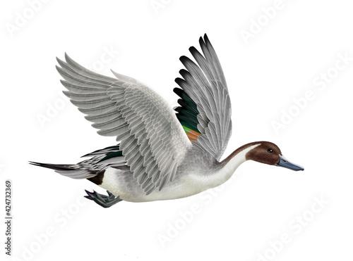Foto canard, pilet, anas aile, vol, mâle, migration,   , isolé, nature, voyage, bec,