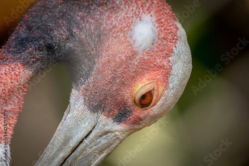 Fototapeta premium Sarus Crane Portrait
