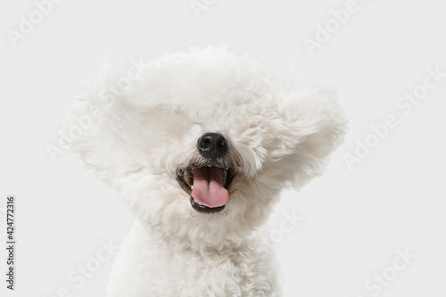 Fotografering Little cute dog Bichon Frise posing isolated over white background