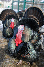 A Pompous Turkey Stands On The Ground, Blurred Background.