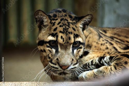 Obraz Clouded leopard (Neofelis nebulosa). - fototapety do salonu