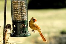 Female Red Cardinal Closeup By Birdfeeder