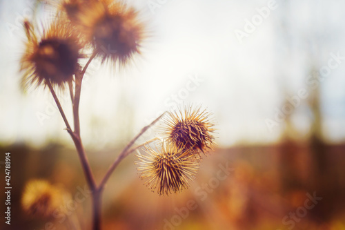 Papel de parede Close-up of a withered burdock plant in the sun