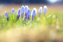 Crocuses First Spring Flowers, Wild Flowers April Seasonal Nature