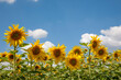 canvas print picture - Sonnenblumen (Helianthus annuus), Sonnenblumenfeld