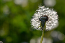 Seedhead Of A Dandelion In Spring