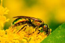 Metallic Green Sweat Bee On Golden Rod