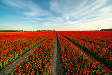 Tulip Plantation In Netherlands, Traditional Dutch Rural Landscape With Blue Sky, Springtime Flowers, Image Suitable For Post Card Or Guide Book