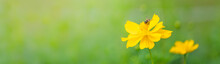 View Of Honey Bee With Yellow Cosmos Flower On Blurred Green Nature Background Under Sunlight With Copy Space Using As Background Natural Flora Insect, Ecology Cover Page Concept.