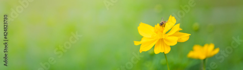 Obraz na plátně View of honey bee with yellow Cosmos flower on blurred green nature background under sunlight with copy space using as background natural flora insect, ecology cover page concept