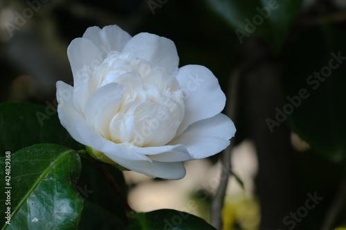 Foto Un fiore bianco di camelia su un albero.