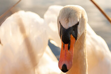 Mute Swan, Close-up Of The Swan's Head