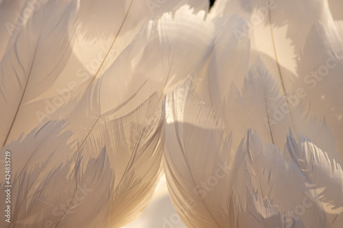 white mute swan feathers, background Wallpaper Mural