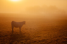 Cows Grazing In A Foggy Field In The Morning