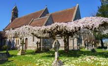 Pink And White Blossom Fills The Flattened Branches Of An Aged Sculptured Tree In A Village Church Grounds
